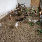chickies voor monsieur le coq